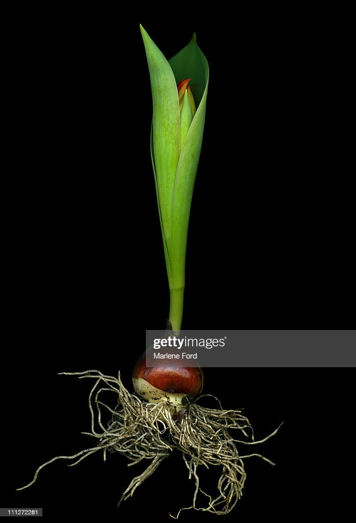 Tulip bud : Stock Photo