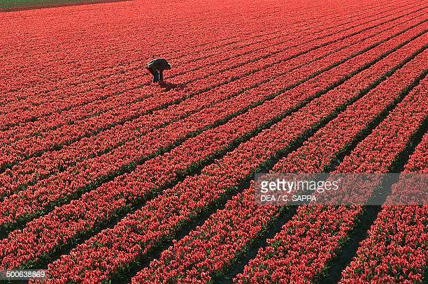 Tulip cultivation near Lisse South Holland Netherlands