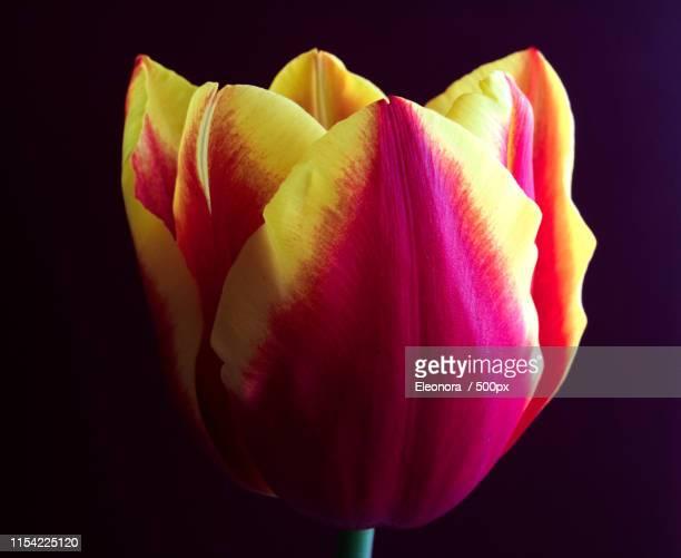tulip dow jones - eleonora jones stock pictures, royalty-free photos & images