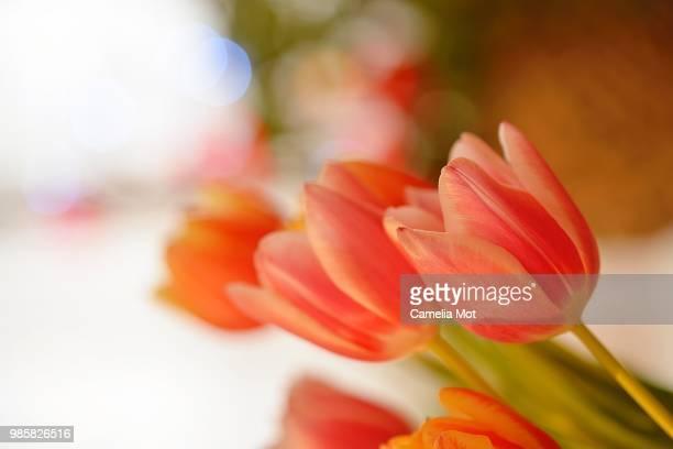 Tulip dream 6