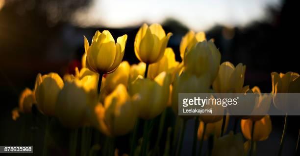 Tulip during spring season