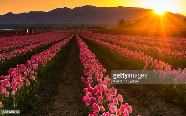 Tulip Farm Against Mountains During Sunset