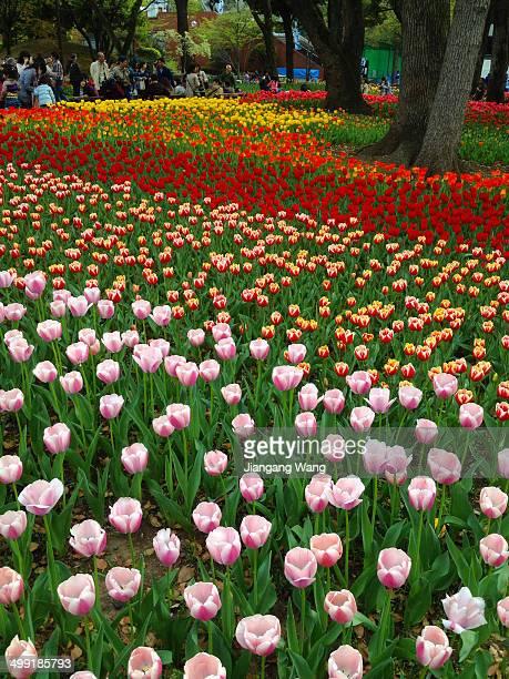 Tulip Festival held in Yokohama Park, Yokohama, Japan.