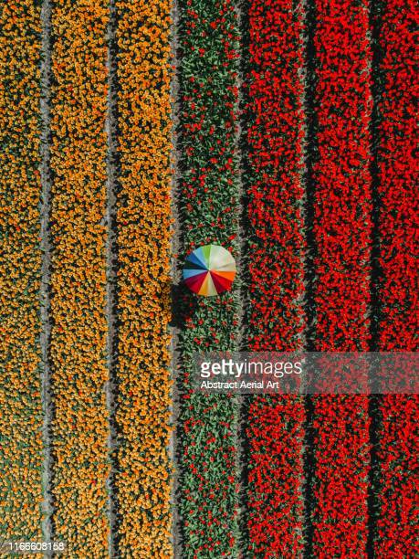 tulip field and person holding an umbrella as seen from above, netherlands - tulipe photos et images de collection