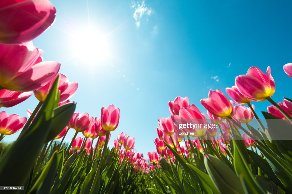 Tulip Field From Below : Stock Photo