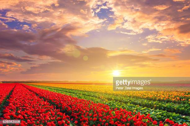 Tulip field in the dutch countryside, South Holland, the Netherlands at sunset