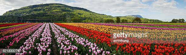 Tulip Field Panorama