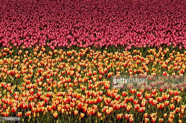 tulip field - flevoland stockfoto's en -beelden