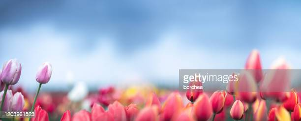 tulip field - tulip stock pictures, royalty-free photos & images