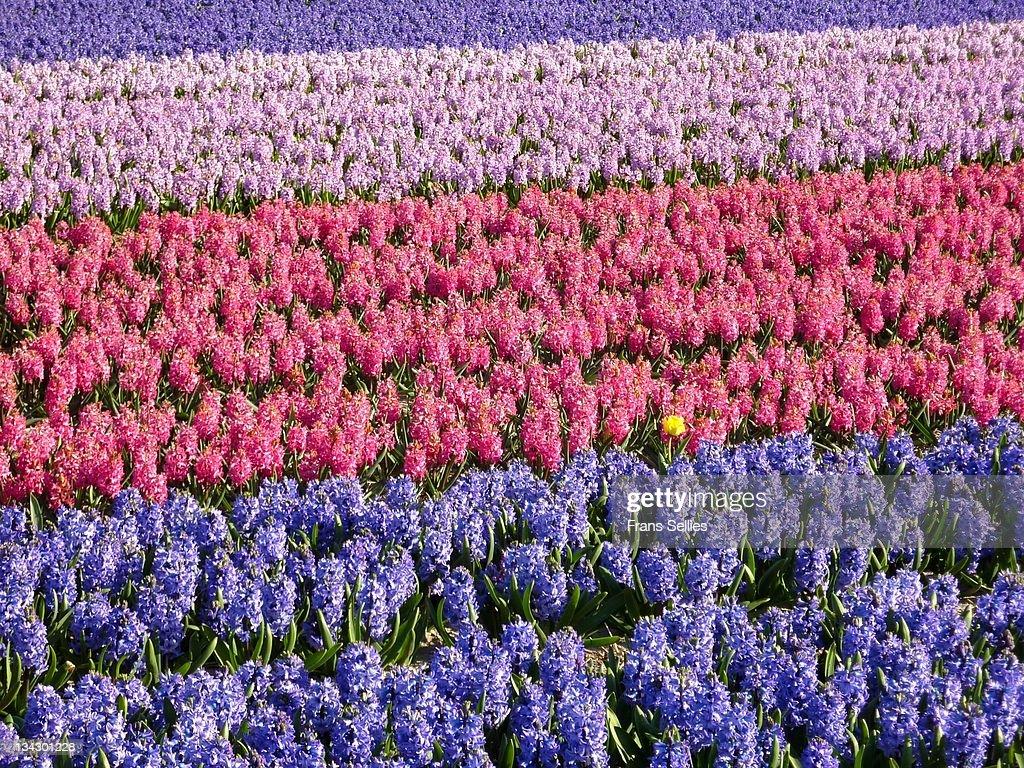 Tulip field : Stockfoto