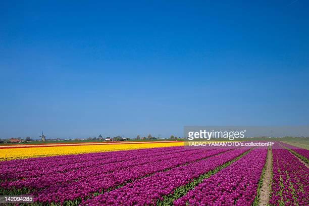 tulip field - ライデン ストックフォトと画像