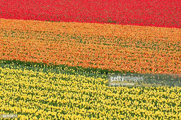 tulip field - keukenhof gardens stock pictures, royalty-free photos & images