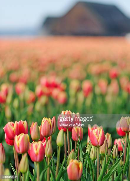 Tulip Field with a barn in the background