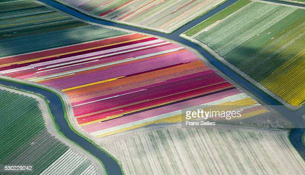 Tulip fields, aerial view, South Holland, the Netherlands