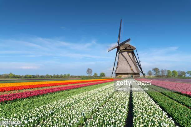 tulip fields and windmill - hollande méridionale photos et images de collection