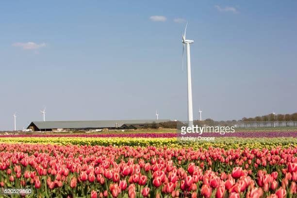 tulip fields and windmills - アルメレ ストックフォトと画像