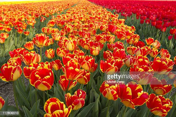 Tulip fields are in full bloom on April 21 2011 in Lisse Netherlands Tourists from all over the world flock down on the so called Bulb area and the...