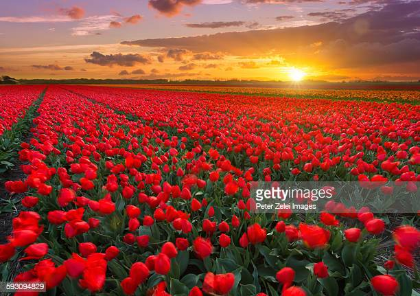 tulip fields at sunset in the netherlands - tulipano foto e immagini stock