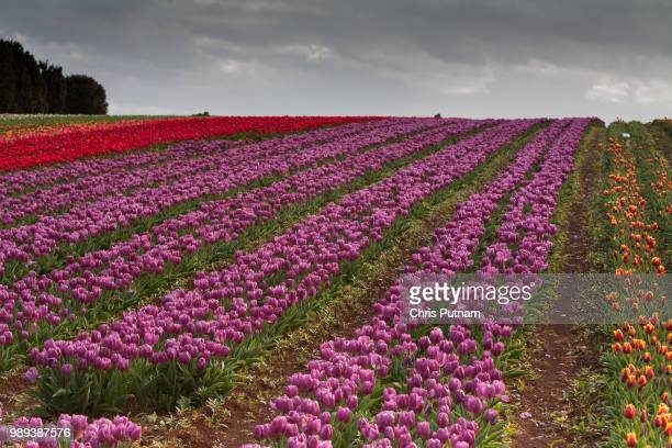 tulip fields at table cape - chris putnam stock pictures, royalty-free photos & images