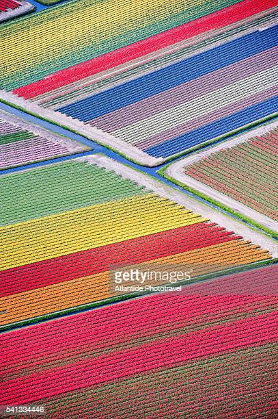Tulip fields between Sassenheim and Lisse