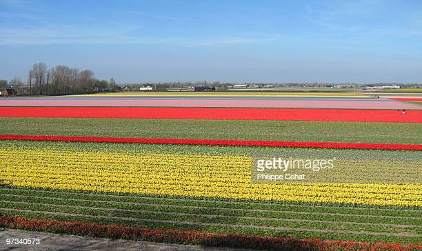 tulip fields, holland. - keukenhof gardens stock pictures, royalty-free photos & images