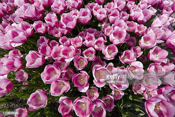 Tulip fields in full bloom on April 21 2011 in Lisse Netherlands Tourists from all over the world flock down on the so called Bulb area and the...
