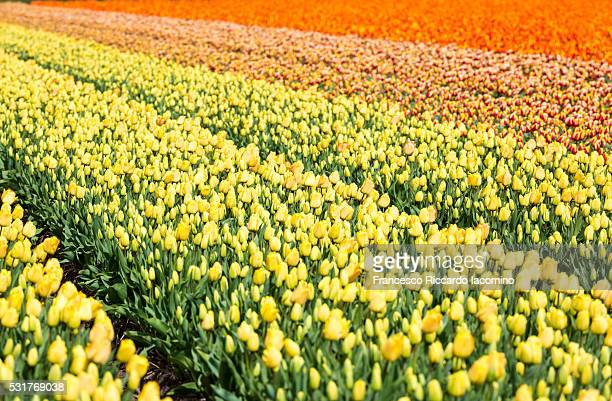 tulip fields in holland - iacomino netherlands foto e immagini stock