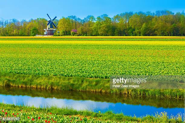 Tulip fields in Keukenhof in the background with a windmill, Netherlands