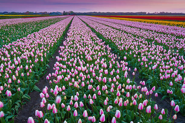 Tulip Fields In The Netherlands At Dusk Wall Art