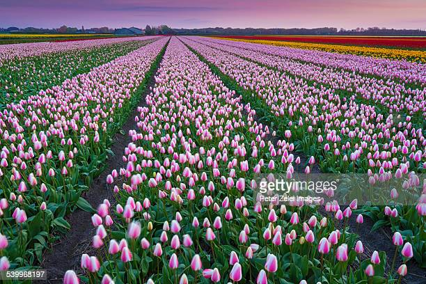 Tulip fields in the Netherlands at dusk