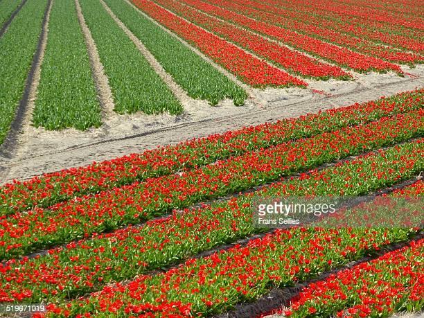 tulip fields in the netherlands, near keukenhof - frans sellies stockfoto's en -beelden