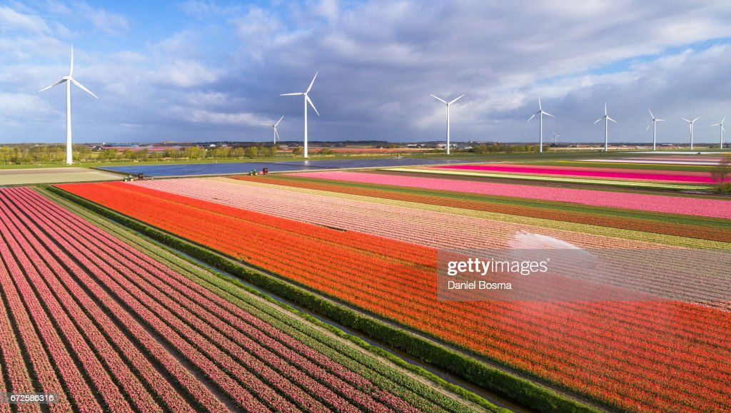 Tulip fields in the Netherlands : Stock Photo
