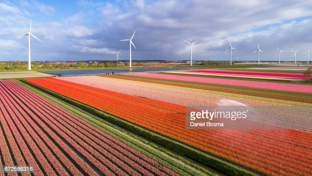 tulip fields in the netherlands - kleurenfoto foto e immagini stock