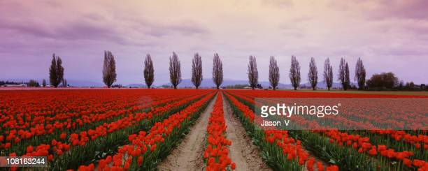 Tulip Fields in the spring 3