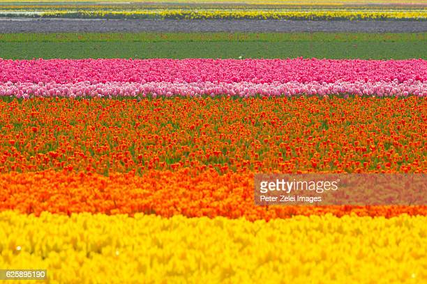 Tulip fields - large scale horticulture in the Netherlands