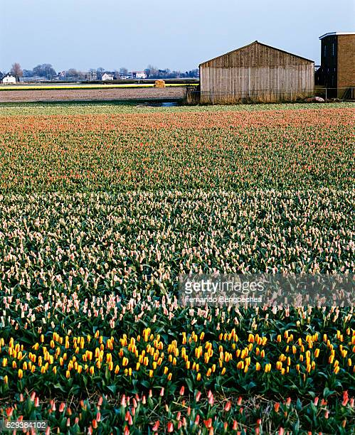 tulip fields - fernando bengoechea stock pictures, royalty-free photos & images