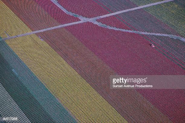 tulip fields, skagit valley, western washington, usa - ワシントン州 ストックフォトと画像