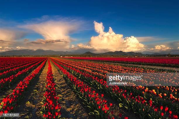 Champs de tulipes avec nuages