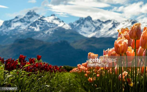 tulip fields with mountains background - argentina stock pictures, royalty-free photos & images