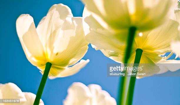 tulip flower - s0ulsurfing stock pictures, royalty-free photos & images