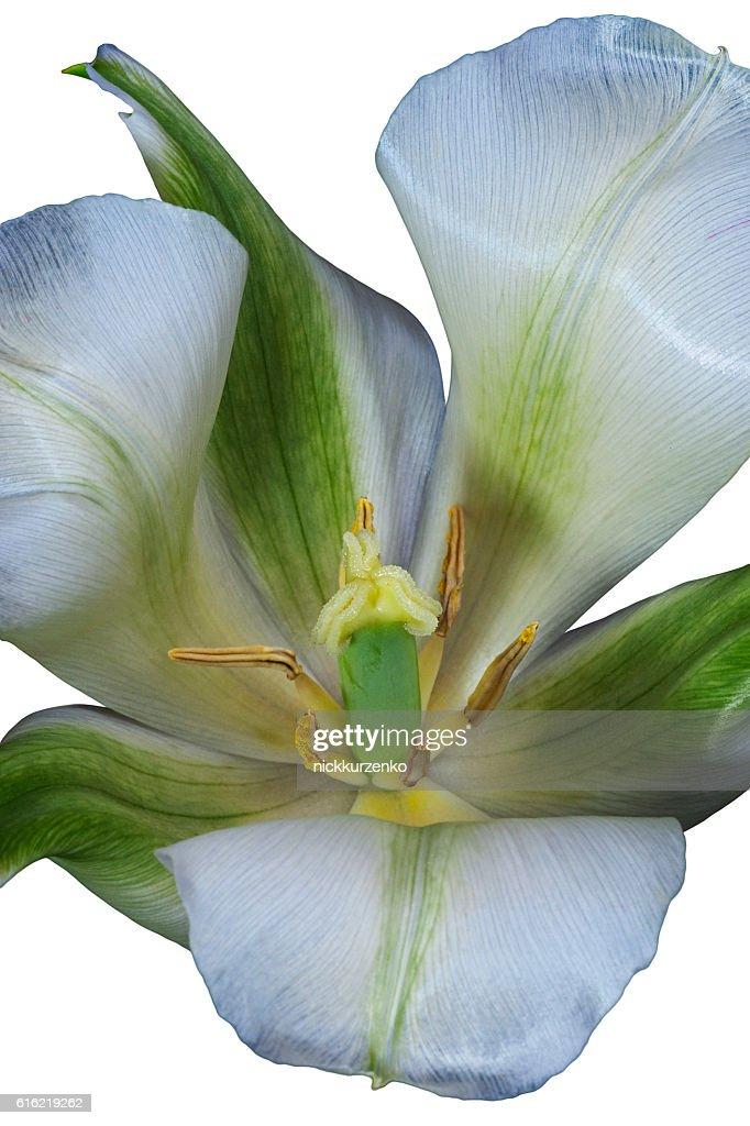 Fiore Tulipano  : Foto stock