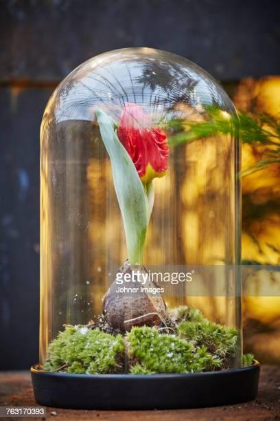 tulip flower under glass dome - blumenzwiebel stock-fotos und bilder