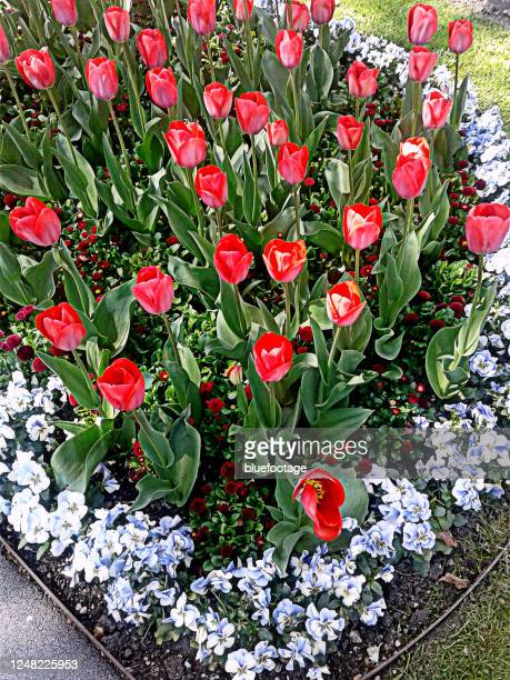 tulip flowerbed - bluefootage stock pictures, royalty-free photos & images