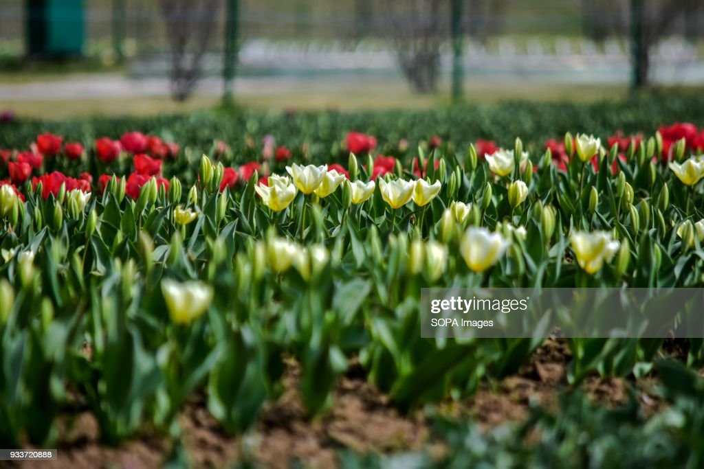 Tulip Flowers Are In Full Bloom Inside The Asias Largest