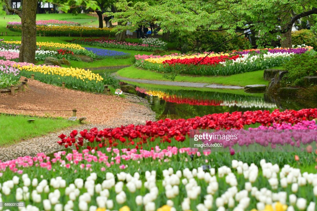 Tulip Flowers at Showa Commemorative National Governmaent Park : Stock Photo