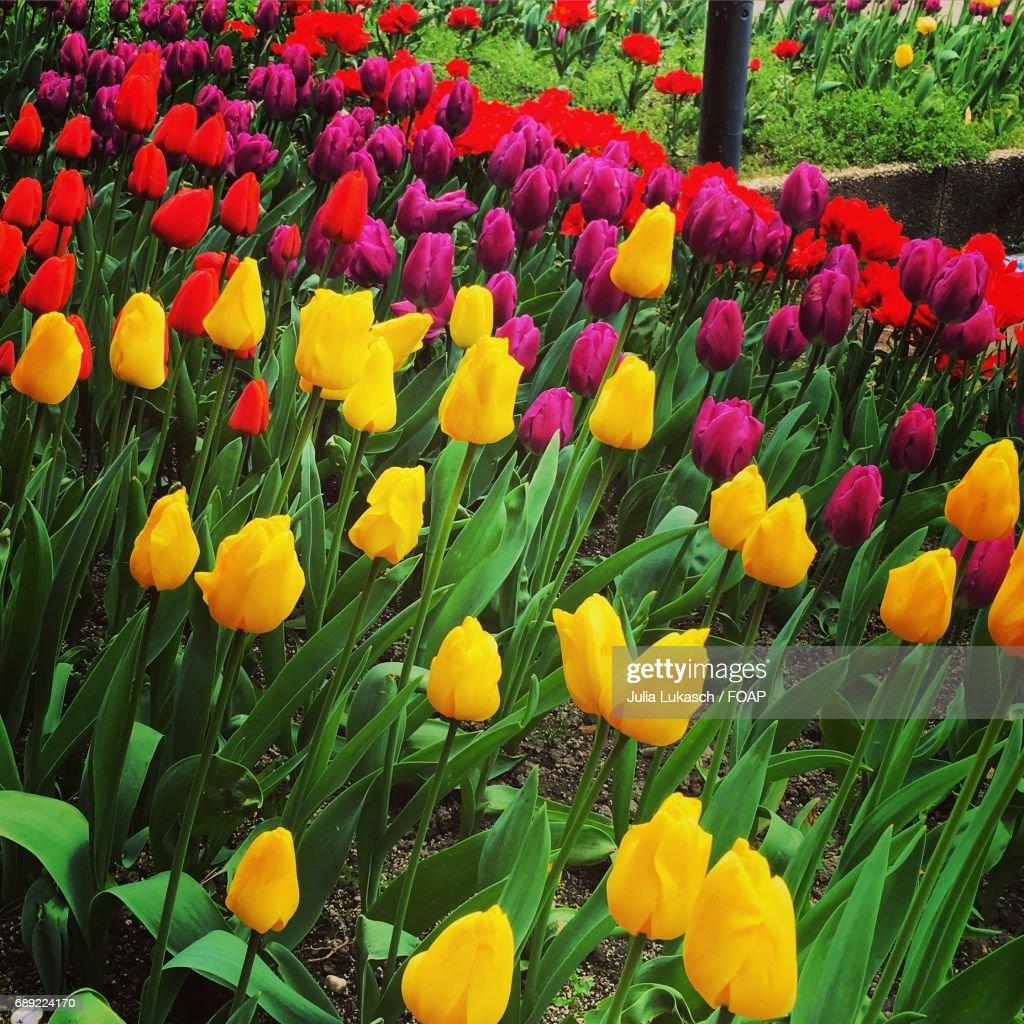 Tulip flowers blooming in garden : Stock Photo