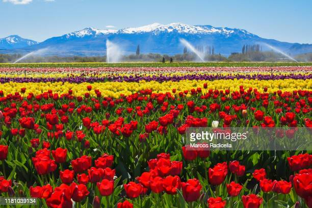 tulip flowers in patagonian landscape - radicella stock photos and pictures