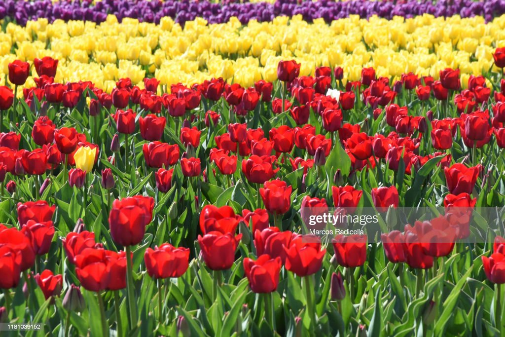 Tulip flowers in patagonian landscape : Stock Photo