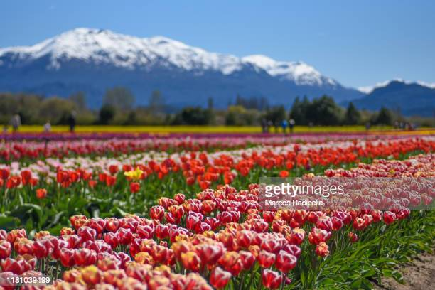 tulip flowers in patagonian landscape - radicella stock pictures, royalty-free photos & images