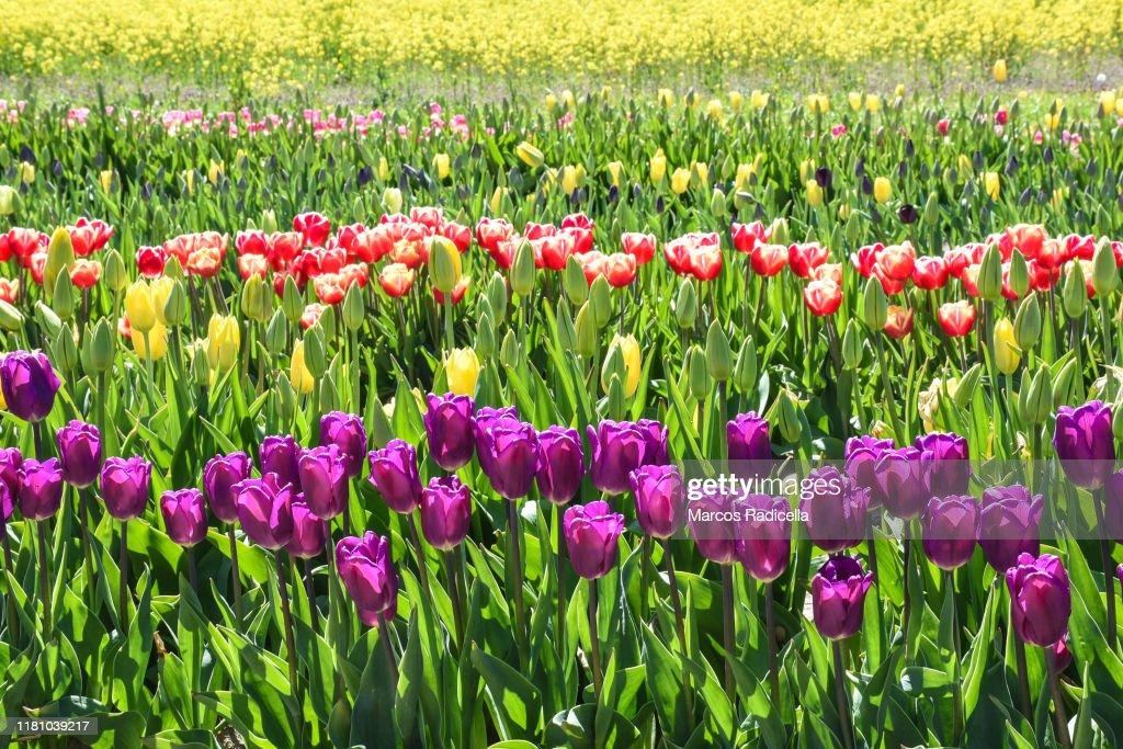 Tulip flowers : Stock Photo